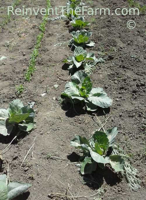 Pest control for vegetable plants